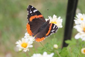 Red Admiral Butterfly5 by Lynxwing