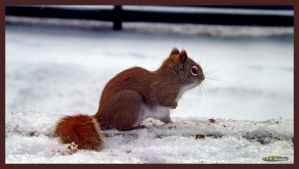 Red Squirrel by Nini1965