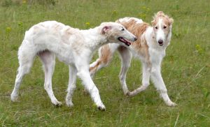 borzoi baby2 by tyyneys