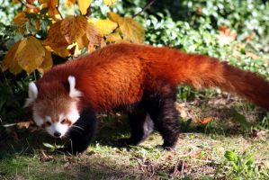 Red Panda by Applinna