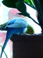 Budgies attacking plant part 2 by beriquito