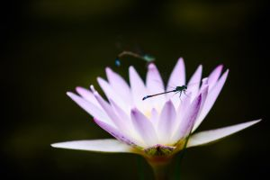 Damselfly and Water Lilies by NorthBlue