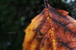 macro leaf by fir3hand