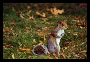 Grey Squirrel by CRIMSONlipstain
