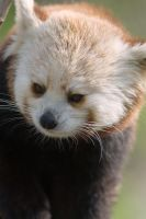 Red Panda 8 by Art-Photo