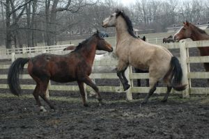 Bozeman and Dusty by stockhorse