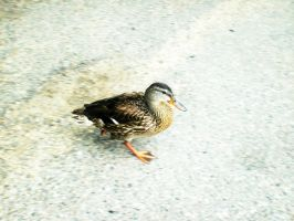 Whyd the duck cross the road? by Ashleyley92
