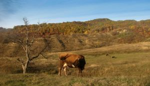 The Autumn Cow by stefanpriscu