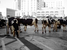 Downtown Cows by LDFranklin