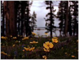 Flowers at Yellowstone Lake by mixal
