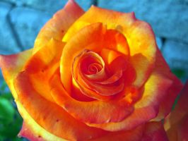 Colourful little rose by jewelslove