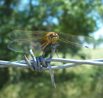 Dragonfly by pawswingsandhooves