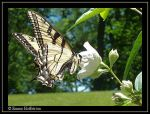 Black and Yellow on White by EmmyNokie