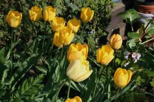 tulips in my garden 5 by ingeline-art