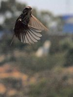 Song Sparrow Flight by photographyflower