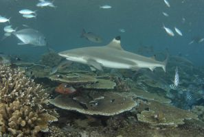 Blacktip Reef Shark 2 by ITacosharkI
