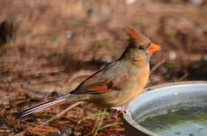 Female Cardinal 1-22-13 by Tailgun2009