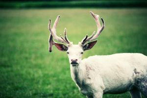 the white stag with the blue eyes by riskonelook