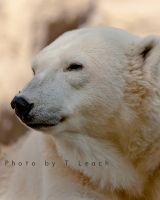 Nanook by tleach0608