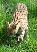 Tautphaus Zoo 49 Serval by Falln-Stock