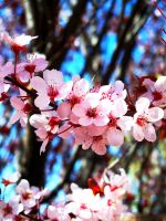 Cherry Blossoms 4 by Moniku