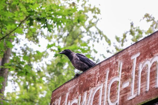 Hooded Crow 01 by Pagan-Stock