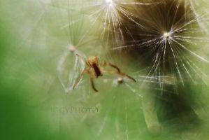 Dandy lil spider by piggyphoto