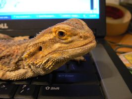 bearded dragon 2 by Son-of-Italy