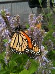 My first Monarch pic by Perceptor