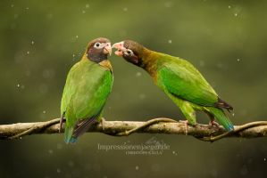 Brown hooded Parrots by chriskaula