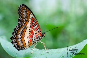 Orange Lacewing by LydiaRhianne