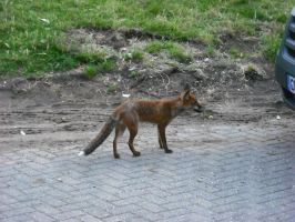 Fox at the OXO Tower by betterwatchit