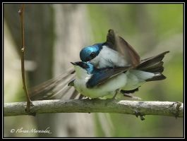 Swallow 4 by Ptimac
