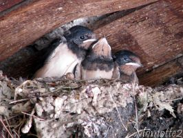 Babies Swallows in nest by Momotte2