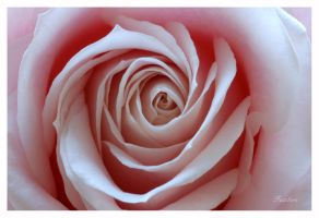 Pink Rose III by fuz1on