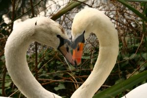 Swans in love by tnhop