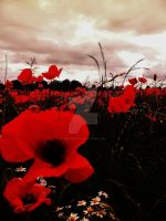 Field Poppies by melrissbrook