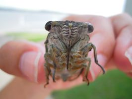 Robust Cicada by GoWaterTribe