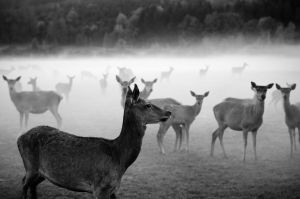 deer in the fog by riskonelook