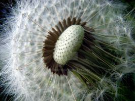 Dandelion Clock 2 by ks-photo