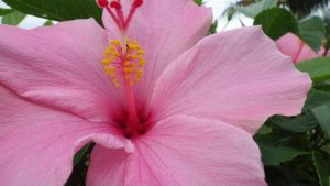 Hibiscus Pink by TheConventGardener
