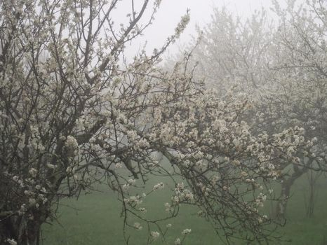 Plumtrees blossom 04 by HermitCrabStock