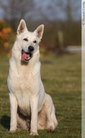 Berger Blanc Suisse by lovable-moments
