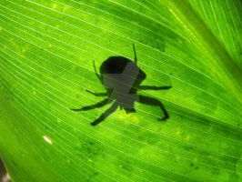 Crab Spider Shadow by Maltese-Naturalist