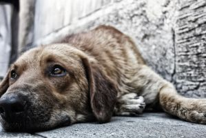 Tired dog laying down. by Horrendeus