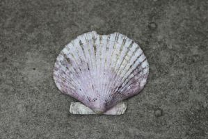 Scallop Shell by Hjoranna