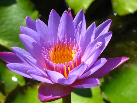 water lily bali 2 by fa-stock