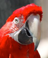 Scarlet Macaw by WilliamJCovello