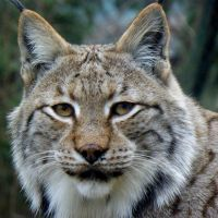 Beautiful Lynx by Biljana1313