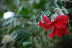 hibiscus 5 by meihua-stock